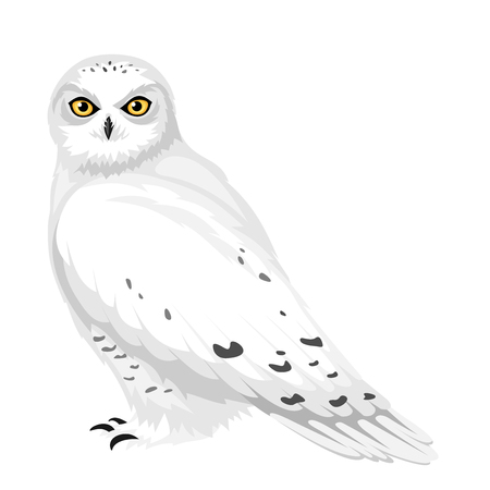 snowy owl: Snowy owl illustration  Illustration