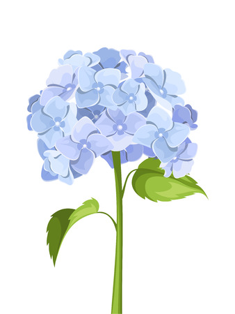 Blue hydrangea flowers. Vector illustration.