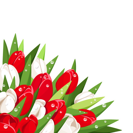 dew: Red and white tulips with dew drops. Vector illustration.