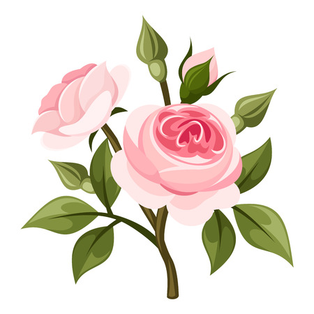 english rose: Vector branch of pink roses and green leaves isolated on a white background. Illustration