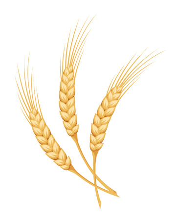 corn field: Ears of wheat. Vector illustration.