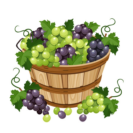 Basket with black and green grapes. Vector illustration. 일러스트