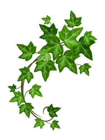 verdant: Ivy branch. Vector illustration. Illustration