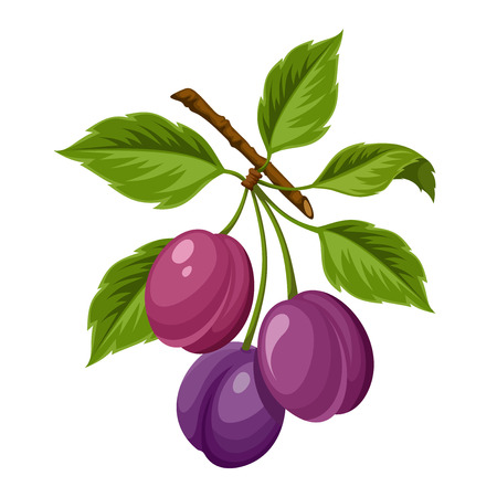 branch isolated: Vector branch of plums isolated on a white background. Illustration