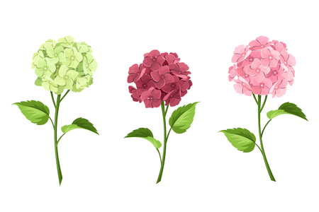 Vector set of pink, maroon and green hydrangea flowers with stems isolated on a white background. Illustration