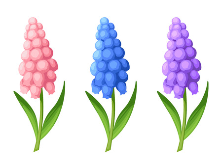 3 벡터 핑크, 블루와 퍼플 포도 앵 꽃의 집합 흰색 배경에 고립. 스톡 콘텐츠 - 56884594