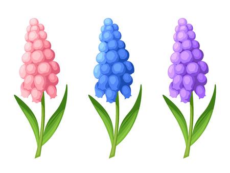 3 벡터 핑크, 블루와 퍼플 포도 앵 꽃의 집합 흰색 배경에 고립.