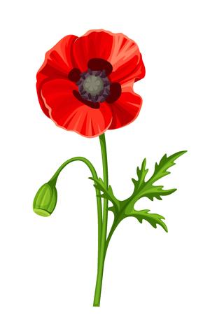 poppy: amapola roja con el tallo aislado en un fondo blanco. Vectores