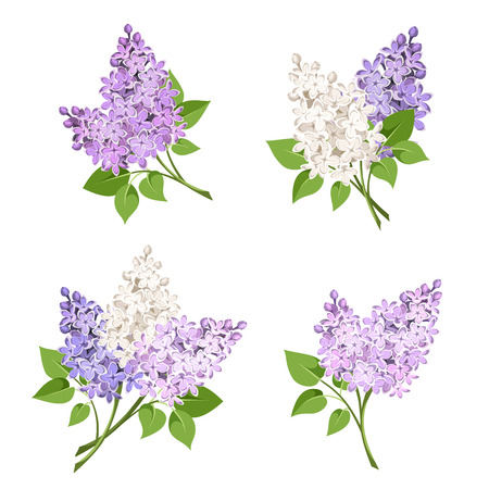 purple flowers: Vector set of branches of purple and white lilac flowers isolated on a white background.