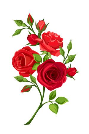 rosas rojas: sucursal vector de rosas rojas aisladas en un fondo blanco.