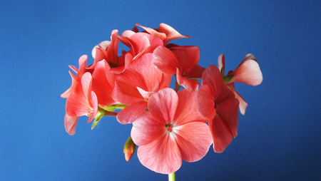 Geranium with pink flowers on blue background.