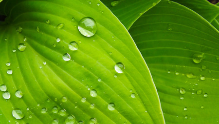 Beautiful host in the garden after the rain. Drops on leaves. Stock Photo