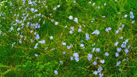 Beautiful chicory flowers.Scenic view. Stockfoto - 106666332