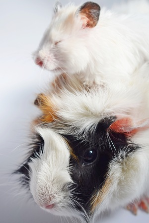 Three colors Guinea pig and white Syrian hamster on white background.