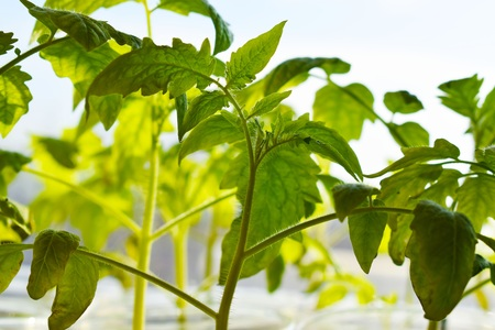 Young tomato plants in the morning. Grow in the garden.