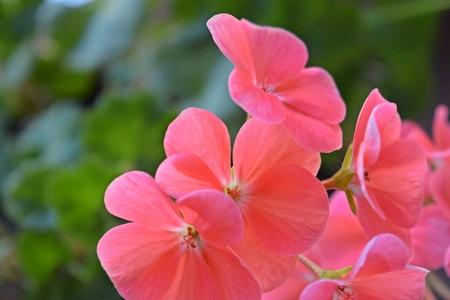 Beautiful pink geranium.The flowers in the garden.