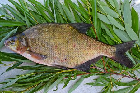 Freshly caught bream on the branches of a willow. Standard-Bild