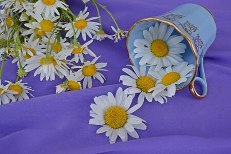 Fresh chamomile flowers on lilac background.Alternative medicine.