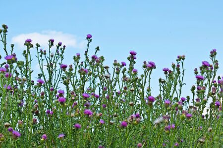 Beautiful purple Thistle flower. Flowering medicinal plants are Thistle or milk Thistle. Milk Thistle plant.