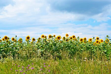 Beautiful, bright sunflower flowers.On a Sunny summer day.