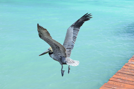 caribbean climate: Pelican flying over the beautiful caribbean blue sea. Stock Photo