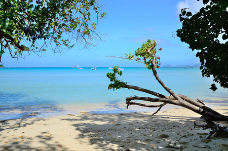 caribbean climate: Tree on the beach.