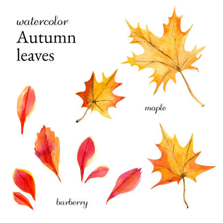 Watercolor autumn leaves maple, rowan and barberry