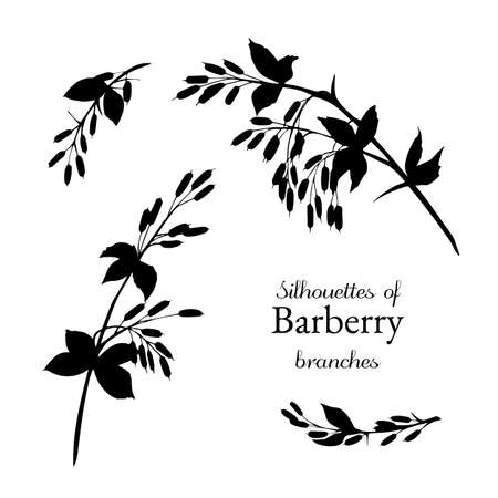The silhouettes of the twigs of barberry in different sizes