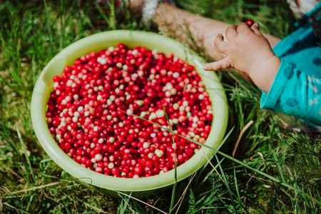 arandanos rojos: little girl eating cranberries just picked in green forest