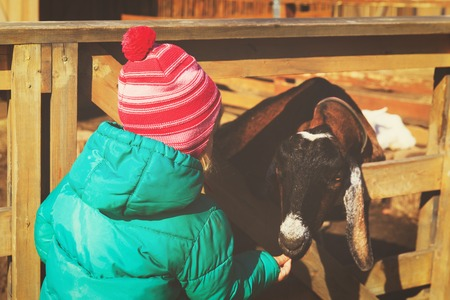 little girl feeding sheeps at farm
