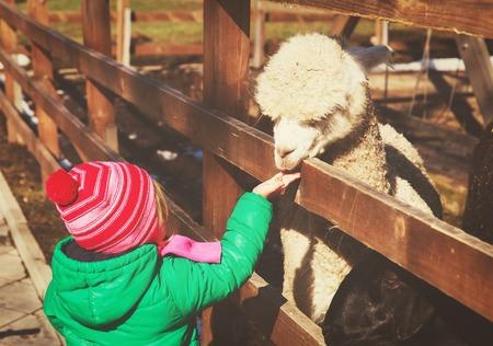 meisje voederen lama op boerderij Stockfoto