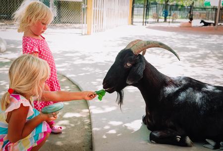 little girls feeding sheeps at farm, kids learn animals