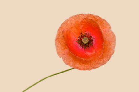 poppy on a background of color of an eggshell Stock Photo - 10602717