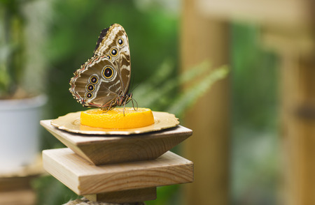 mariposa: Portrait of live butterflies. Butterfly sitting on the Mandarin.