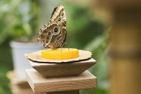 papillon: Portrait of live butterflies. Butterfly sitting on the Mandarin.