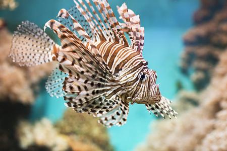 peces de acuario: pez nada en el acuario, la cebra de alas. Pescados entre corales y algas.