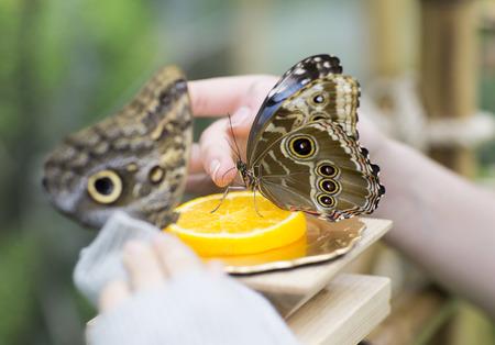 donna farfalla: Portrait of live butterflies. Woman feeding a butterfly with orange juice. Archivio Fotografico