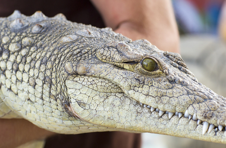 alligator eyes: Trick with a large crocodile. A man holds a crocodile in their hands.