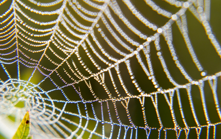 kropla deszczu: Morning dew on a spider web. Texture water drops on the plant.
