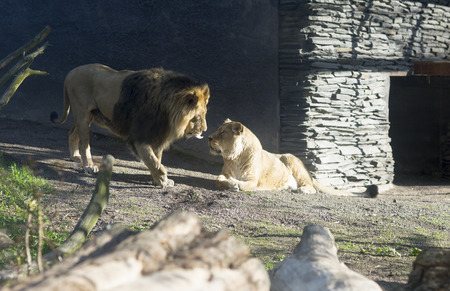 approached: Portrait of a lion and lioness in zoo, Finland. The lion approached the lioness and licks her. Stock Photo