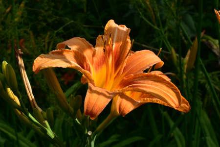 Orange lily flower in the sun. 스톡 콘텐츠 - 150878293