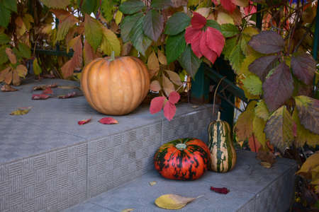 Tree pumpkins on the steps against the background of wild grapes on a autumn morning.