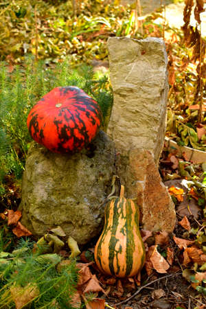 Two pumpkins in the garden at the decorative stone in the autumn morning. 写真素材