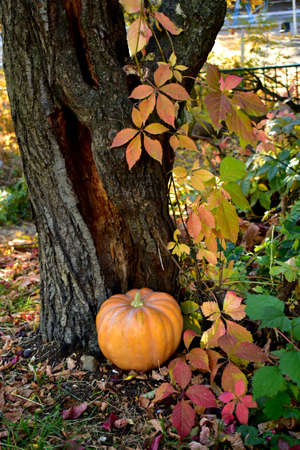 Beautiful orange pumpkin on the ground near an old tree in the park in the autumn morning.