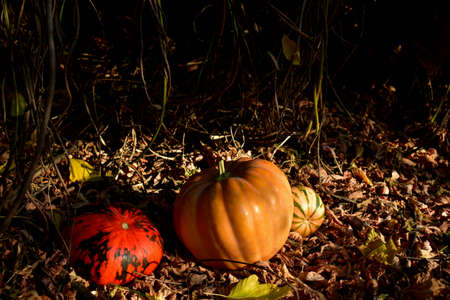 Three pumpkins on the fallen foliage in the park in the autumn morning. 写真素材