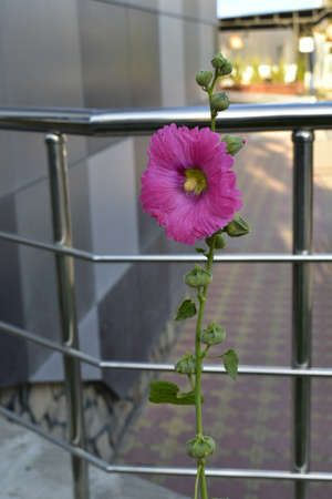 Beautiful flower of malva against the background of stone and metal.