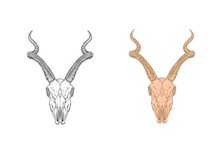 illustration with hand drawn antelope skull. Two variants: monochrome and colored. In realistic style. Isolated on withe background. For you design, tattoo or magic craft. Illustration