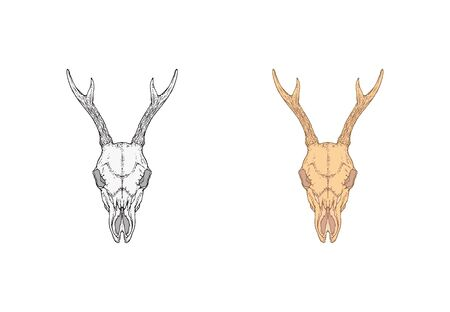 illustration with hand drawn roe deer skull. Two variants: monochrome and colored. In realistic style. Isolated on withe background. For you design, tattoo or magic craft.