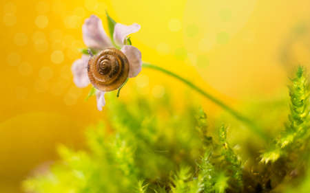 A snail sleeps on a lilac flower. Yellow background.