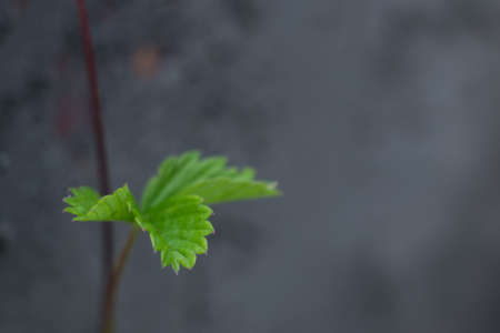 The leaves of the strawberry on a background of gray stone wall